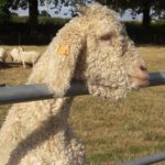 Dallas - Angora Goat