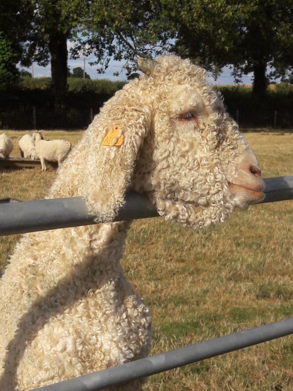 Dallas - Angora Goat